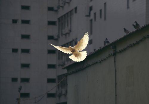sun shining on white dove in mid flight